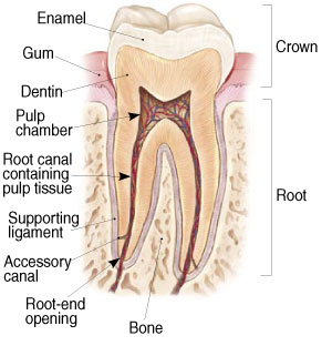 Root Canal Therapy at David R. Moyer Cosmetic & Family Dentistry